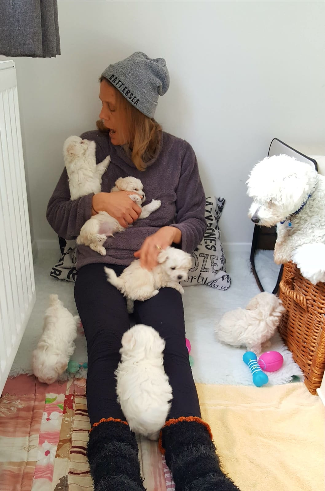 Jessie, Bichon Frise with her litter of puppies and their foster carer