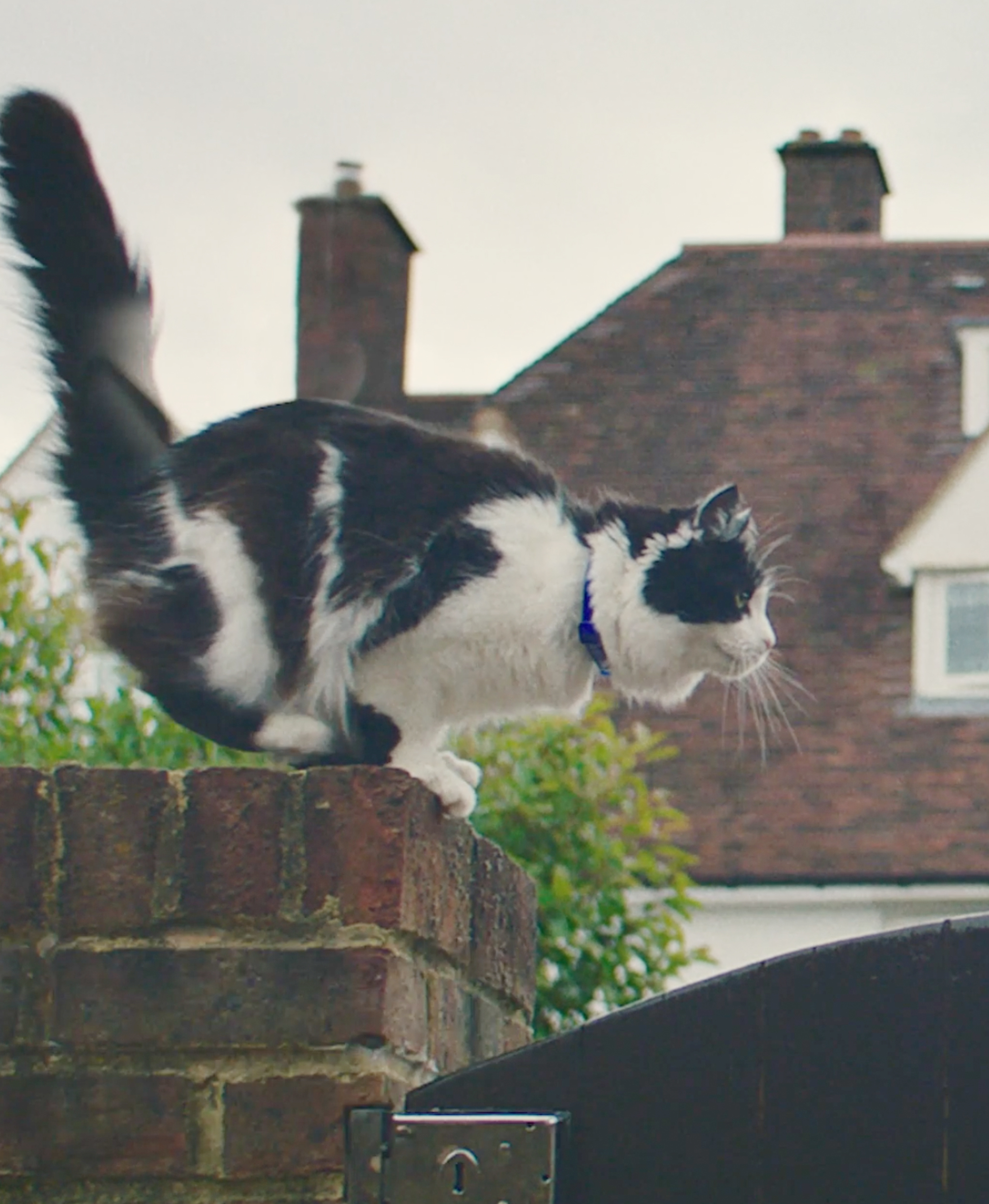 Polly, long-haired black and white cat jumping
