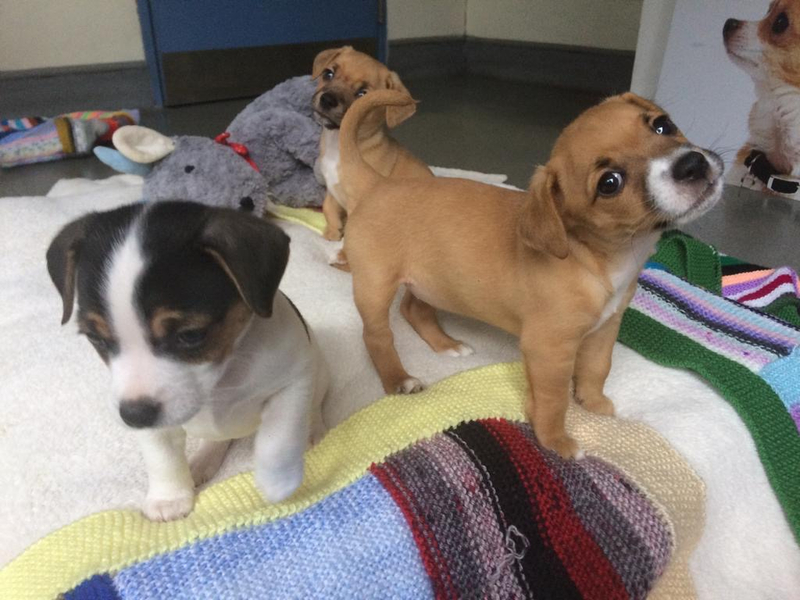 Three brown and white puppies on a blanket